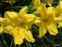 Oakes-Daylilies-Siloam-Space-Age-daylily-002