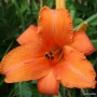 Oakes-Daylilies-Super-Coral-daylily-001
