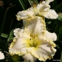 Oakes-Daylilies-Marque-Moon-003