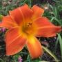 Oakes-Daylilies-Orange-Vols-daylily-009