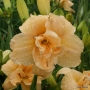 Oakes-Daylilies-Silent-Thunder-daylily-003