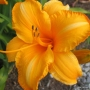 Oakes-Daylilies-Olympic-Gold-002