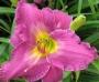 Oakes-Daylilies-Apollodorus-daylily-005