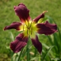 Oakes-Daylilies-Diabolique-daylily-002