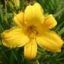 Oakes-Daylilies-Buttered-Popcorn-daylily-001