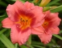 Oakes-Daylilies-Little-Strawberry-Shortcake