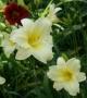 Oakes-Daylilies-Miss-Amelia-daylily-003