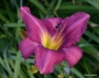 Oakes-Daylilies-Chicago-Arnie's-Choice-daylily-001