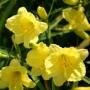 Oakes-Daylilies-Happy-Returns-daylily