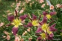 Oakes-Daylilies-Diabolique-daylily