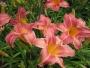 Oakes-Daylilies-Persian-Market-daylily-002