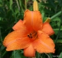 Oakes-Daylilies-Super-Coral-daylily
