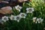 Oakes-Daylilies-Pandora's-Box-daylily