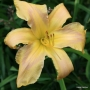 Oakes-Daylilies-Country-French-daylily-005
