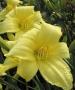 Oakes-Daylilies-Ida-Miles-daylily-002