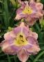 Oakes-Daylilies-Mexicali-Blues-daylily-006