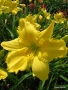 Oakes-Daylilies-Siloam-Space-Age-daylily-003