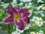 Oakes-Daylilies-Indian-Giver-daylily-009