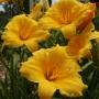 Oakes-Daylilies-Stella-De-Oro-daylily-002