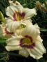 Oakes-Daylilies-Pandora's-Box-daylily-001