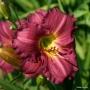 Oakes-Daylilies-Siloam-Royal-Prince-daylily-004