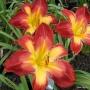 Oakes-Daylilies-Wispy-Rays-daylily-006