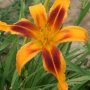Oakes-Daylilies-Calico-Spider-daylily-004