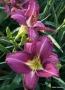 Oakes-Daylilies-Shari-Harrison-daylily-004