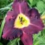 Oakes-Daylilies-Bela-Lugosi-daylily-001