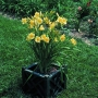 Oakes-Daylilies-Happy-Returns-daylily-001