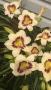 Oakes-Daylilies-Pandora's-Box-daylily-005
