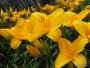 Oakes-Daylilies-Sparkling-Orange-daylily-003