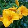 Oakes-Daylilies-Olympic-Gold-daylily-005