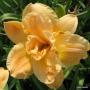 Oakes-Daylilies-Silent-Thunder-daylily-005