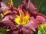 Oakes-Daylilies-Bela-Lugosi-daylily-005