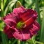 Oakes-Daylilies-Siloam-Royal-Prince-daylily