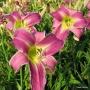 Oakes-Daylilies-Flutterbye-daylily-004