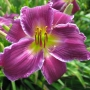 Oakes-Daylilies-Indian-Giver-daylily-004