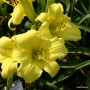 Oakes-Daylilies-Frozen-Jade-daylily-003