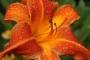 Oakes-Daylilies-Orange-Vols-daylily-005