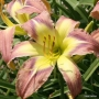 Oakes-Daylilies-Star-Of-Fantasy-daylily-006
