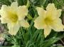 Oakes-Daylilies-Miss-Amelia-daylily-006