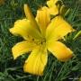 Oakes-Daylilies-Dancing-Lions-daylily-002