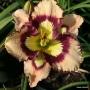 Oakes-Daylilies-Spacecoast-Sea-Shells-daylily-002