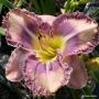 Oakes-Daylilies-Mexicali-Blues-daylily-002