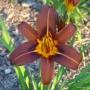 Oakes-Daylilies-Milk-Chocolate-daylily-006