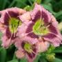 Oakes-Daylilies-Addie-Branch-Smith-daylily-001