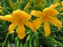 Oakes-Daylilies-Mico-002