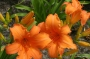 Oakes-Daylilies-Super-Coral-daylily-004