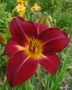 Red-Volunteer-red-daylily-Dallas-Jent-Casey2